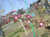 Sakurakaede
